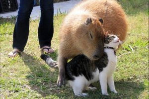o-CAPYBARA-HUGS-CAT-facebook
